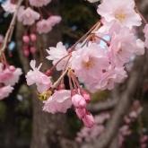 芝公園のしだれ桜